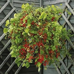 Sementes de Tomate Cereja Samambaia: 20 Sementes