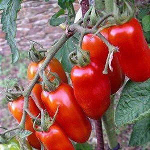 Sementes de Tomate Italiano San Marzano: 20 Sementes