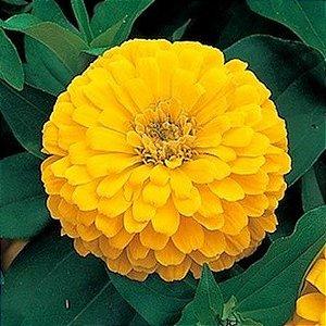 Sementes de Zinnia Amarela Gigante da Califórnia: 15 Sementes