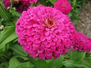 Sementes de Zinnia Rosa Gigante da Califórnia: 15 Sementes