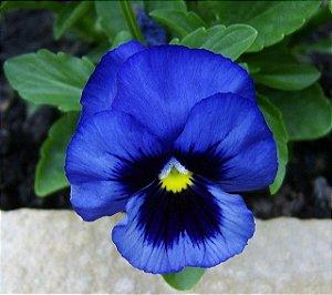 Sementes de Amor Perfeito Azul Gigante Suíço: 15 Sementes