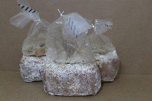 Sementes de Cogumelos Shiitake em Serragem - Caixa com 12 unidades (1.000ml)