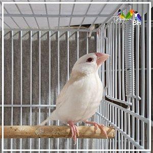 Calafate Albino