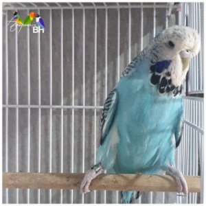 Periquito Inglês Azul Cobalto