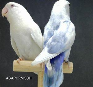 Roseicollis casal depurado