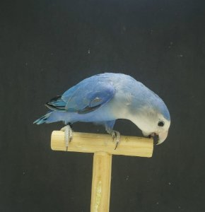 Roseicollis Depurado Azul -MACHO