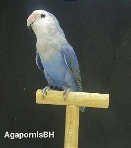 Roseicollis Azul Cobalto - FEMEA