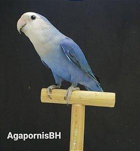 Roseicollis Azul Face Branca - Macho