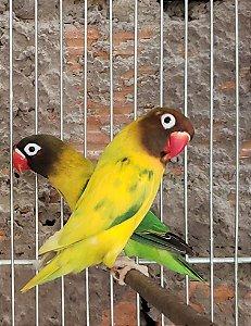 matriz 07 : casal Personatus Macho Arlequim Femea Verde