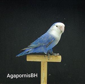 Roseicollis Azul Cobalto