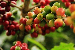 Café Grãos Verde 2kg  In Natura Do Sítio Arábica Catuaí Vermelho Sem Torrar