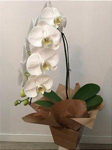Orquidea Branca Cascata