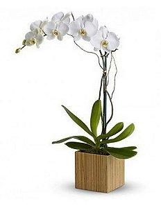 Orquídea Branca G