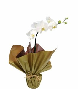 Orquídea Branca M