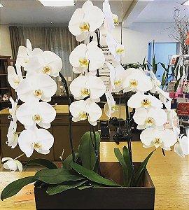 Orquídeas Phalaenopsis Cascata Tripla