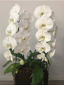 Orquídeas Phalaenopsis Cascata Dupla