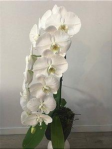 Orquídeas Phalaenopsis Cascata G