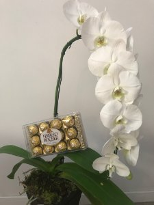 Orquídeas Phalaenopsis Cascata G com Ferreor Rocher
