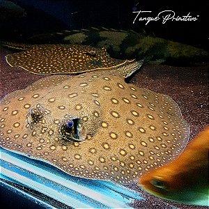 Peixe Arraia Motoro (Potamotrygon motoro)