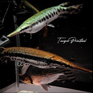 Peixe Boca de Jacaré (Lepisosteus Oculatus) - TAMANHO: 21/22cm