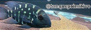 Peixe Papagaio Verdadeiro (Hoplarchus Psittacus)