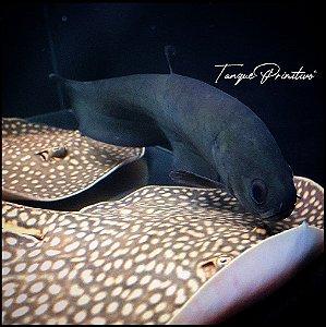 Peixe Faca Reticulado (Papyrocranus afer) - TAMANHO: 25cm