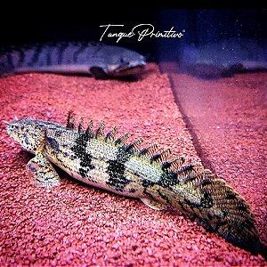 Peixe Polypterus Endlicheri - TAMANHO: (11/12)/(15/16)/18cm