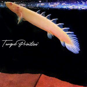 Peixe Polypterus Senegalus Albino