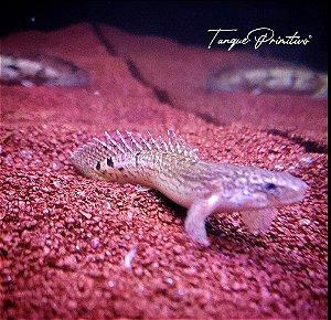 Peixe Polypterus Delhezi - TAMANHO: 10cm