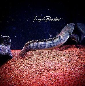 Peixe Polypterus Weeksii