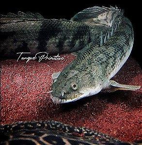 Peixe Polypterus Congicus