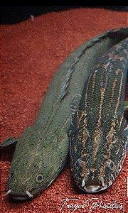 Peixe Polypterus Bichir