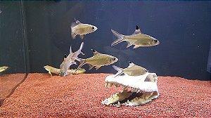Peixe Barbus Tinfoil (Barbonymus schwanenfeldii)