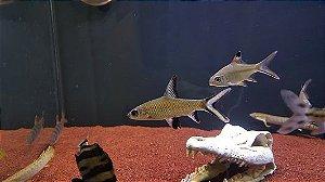 Peixe Bala Shark (Balantiocheilos melanopterus)