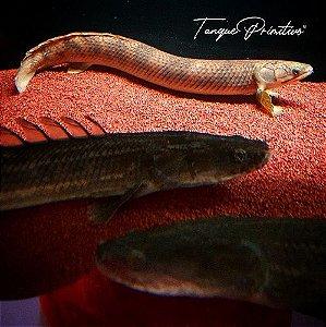 Peixe Polypterus Mokelembembe