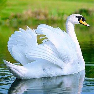 Cisne Branco adulto mais de 12 meses - Sitio Refúgio das Aves de Lumiar