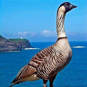 Ganso do Havaí adulto mais de 12 meses - Sitio Refúgio das Aves de Lumiar (a partir de Julho/2021)