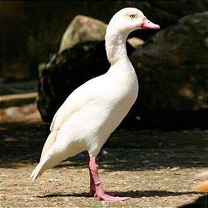 Ganso do Egito Branco adulto mais de 12 meses - Sitio Refúgio das Aves de Lumiar (a partir de Julho/2021)