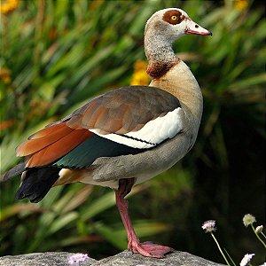 Ganso do Egito Colorido de 6 a 12 meses - Sitio Refúgio das Aves de Lumiar