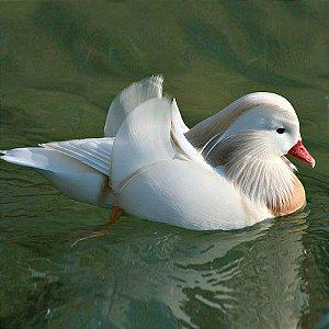 Marreco Mandarim Branco adulto mais de 12 meses - Sitio Refúgio das Aves de Lumiar