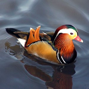 Marreco Mandarim Colorido adulto mais de 12 meses - Sitio Refúgio das Aves de Lumiar (a partir de Julho/2021)