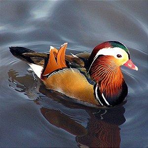 Marreco Mandarim Colorido de 6 a 12 meses - Sitio Refúgio das Aves de Lumiar