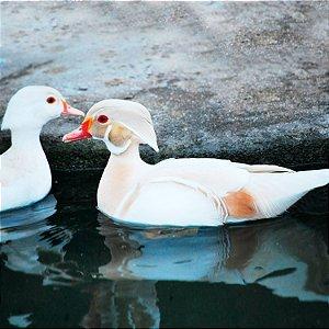 Marreco Carolina Branco de 6 a 12 meses - Sitio Refúgio das Aves de Lumiar (a partir de Julho/2021)