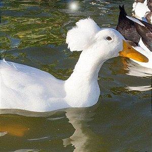 Marreco Pompom de 6 a 12 meses - Sitio Refúgio das Aves de Lumiar (a partir de Julho/2021)