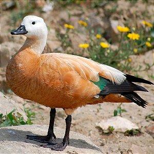 Tadorna Ferruginea adulto mais de 12 meses - Sitio Refúgio das Aves de Lumiar (a partir de Julho/2021)