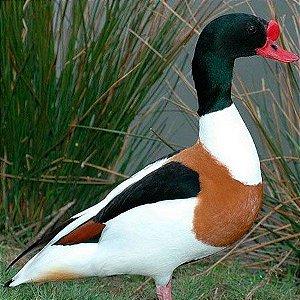 Tadorna Tricolor adulto mais de 12 meses - Sitio Refúgio das Aves de Lumiar (a partir de Julho/2021)