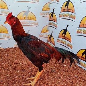 Reprodutor Shamo do IG Lumiar - / Puro / Cor Vermelho Escuro / Muito Musculoso e Forte / Crista Ervilha / Anilha Bronze 127