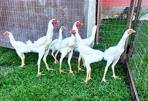 Frangos Índio Gigante Brancos com 180 fias de idade - R$ 550,00 / unidade
