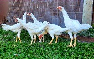 Frangas Índio Gigante Brancos com 180 fias de idade - R$ 450,00 / unidade