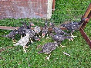 Aves Índio Gigante Carijó com 120 dias de idade - Machos R$ 550,00 / Fêmeas R$ 450,00